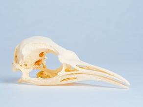 Penguin Skull (Aptenodytes forsteri) - Emperor Penguin, Adult