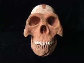 Homo Naledi Complete Skull Reconstruction
