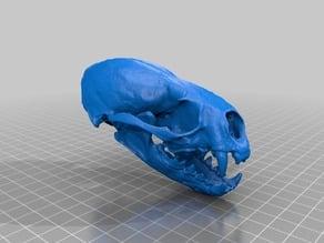 River_Otter_Skull