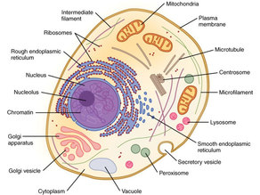 Eukaryotic / Prokaryote Cell Model (Organelles)
