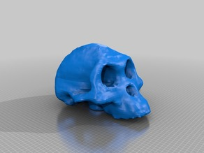 Australopithecus afarensis (Lucy) skull (3D scanned)