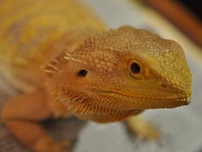 real live (bearded) dragon photoscan