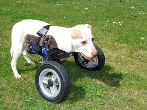 Adjustable Wheelchair for a handicapped puppy dog