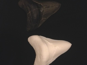 Megalodon Scanned Fossil Tooth